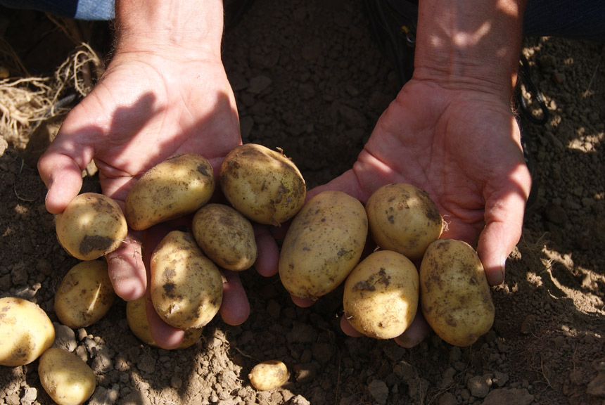 Goed toepassen van Royal MH in aardappelen belangrijk voor resultaat