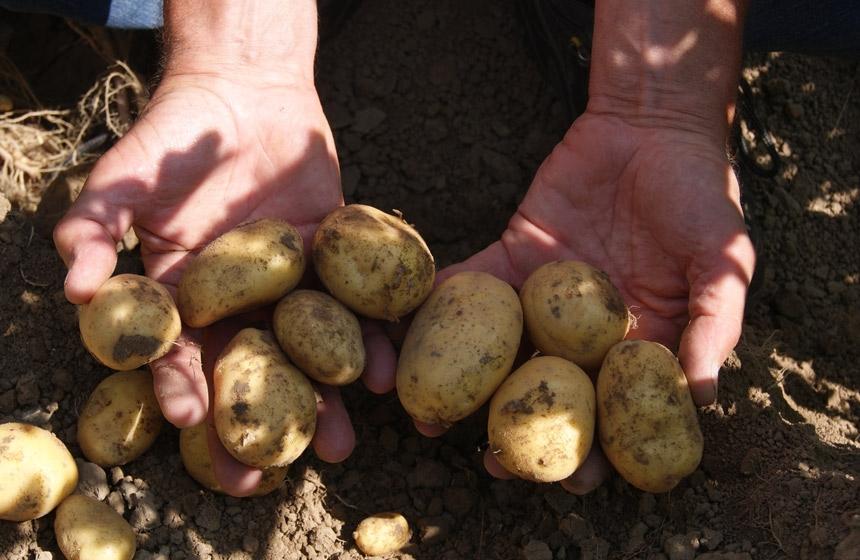 De aardappelen zien er gezond uit en zijn ondanks de droogte al behoorlijk van maat. Binnenkort kan de Royal MH gespoten worden.