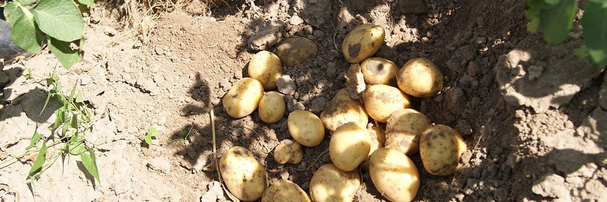 Aardappelen kiemremming