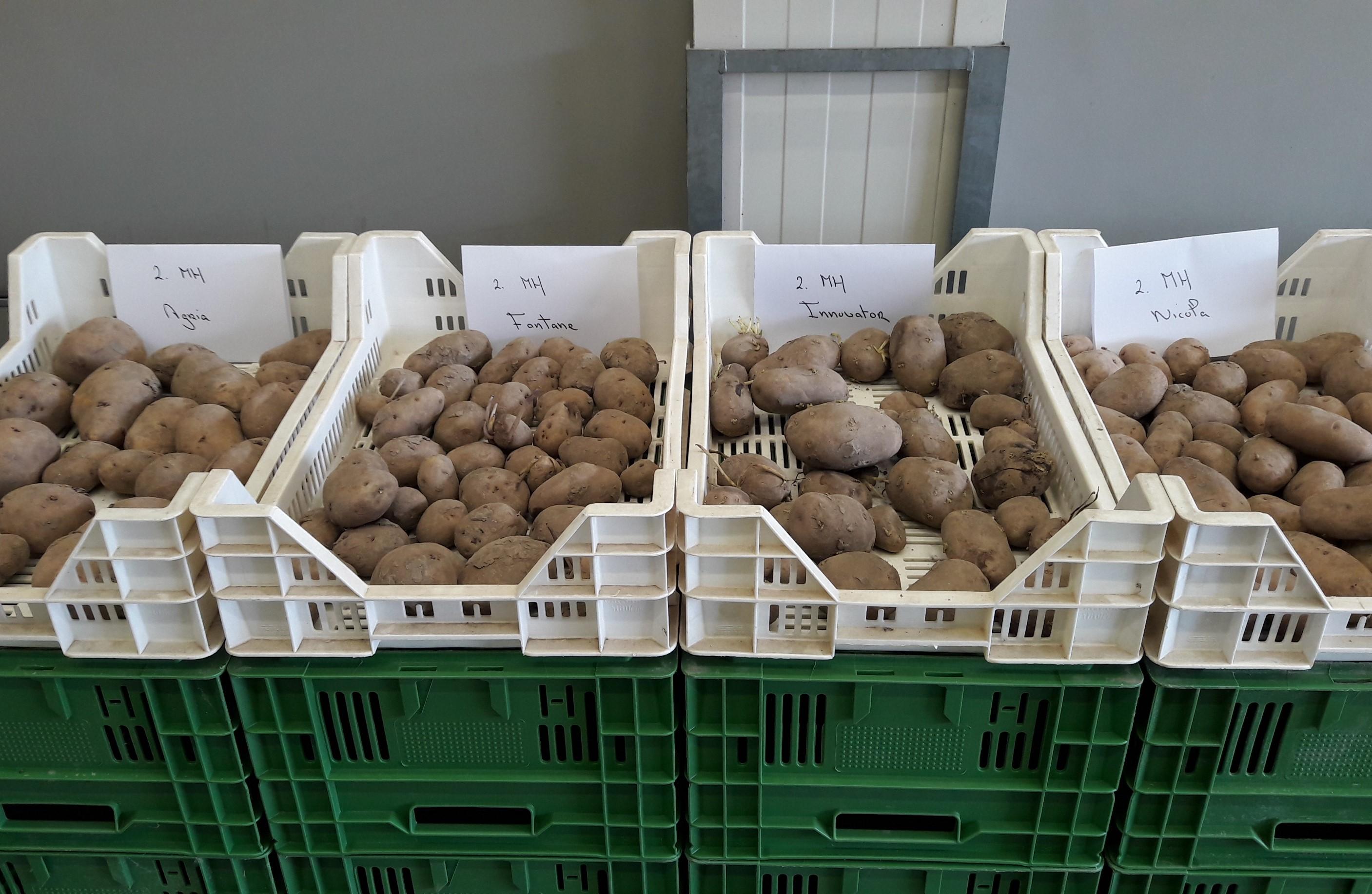 Positief effect van Royal MH op aardappel kwaliteit
