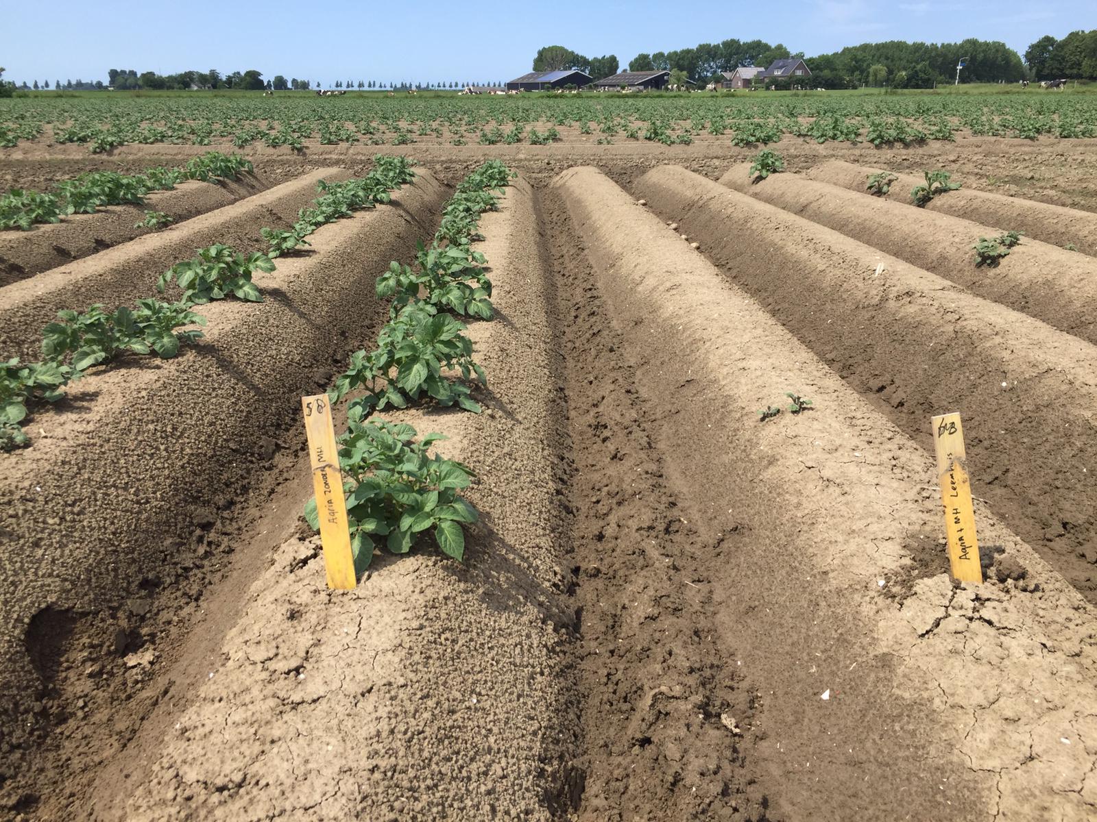 Royal MH basis voor optimale bestrijding van aardappelopslag