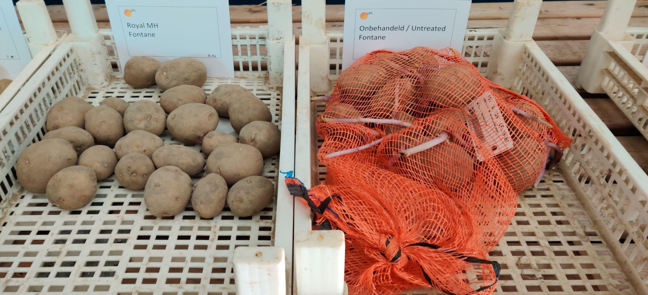 Effect ROYAL MH op kiemremming en gewichtsverlies in aardappelen onderzocht